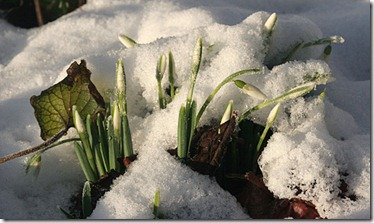 vintergæk i sne